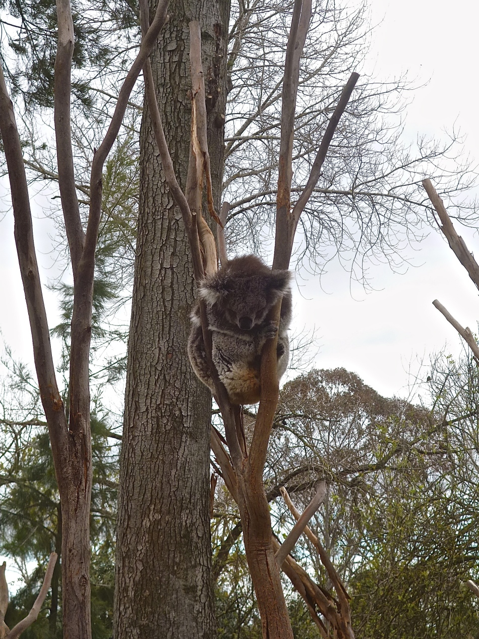 The Royal Melbourne Zoo koala