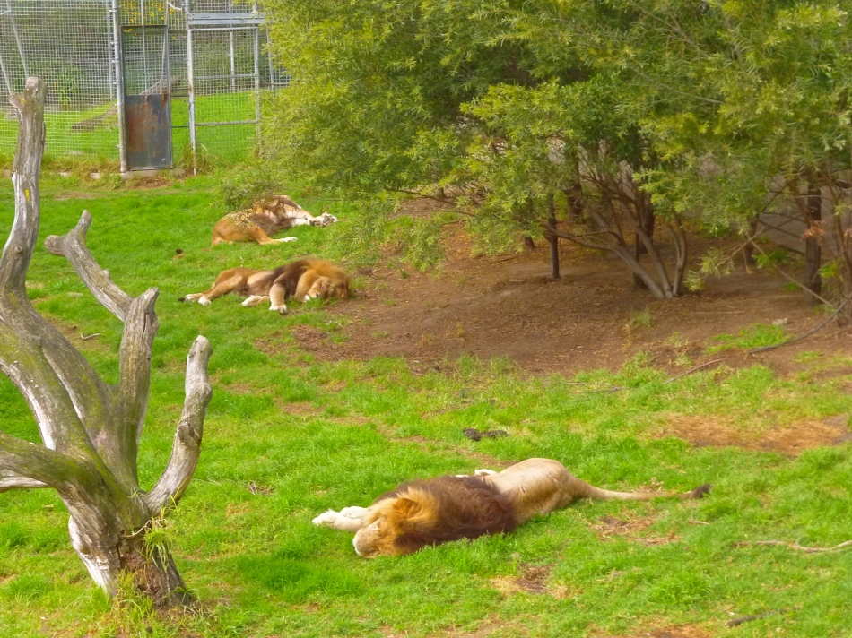 The Royal Melbourne Zoo lions