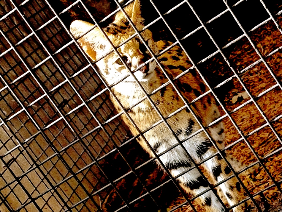 The Royal Melbourne Zoo trapped cat