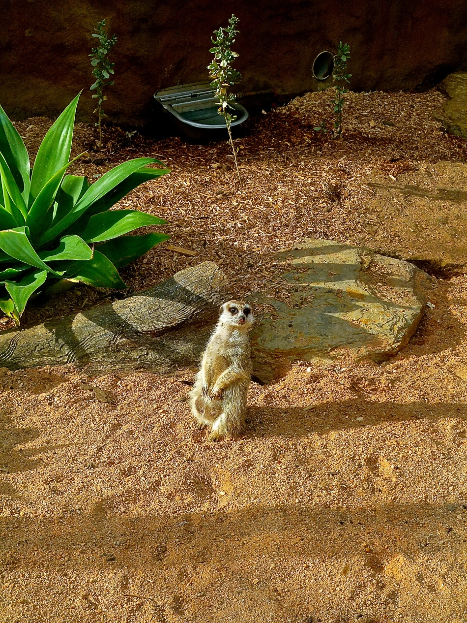 The Royal Melbourne Zoo Meerkat