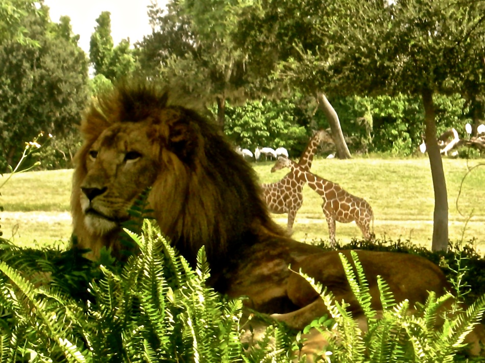 Lion and Giraffes at Busch Gardens