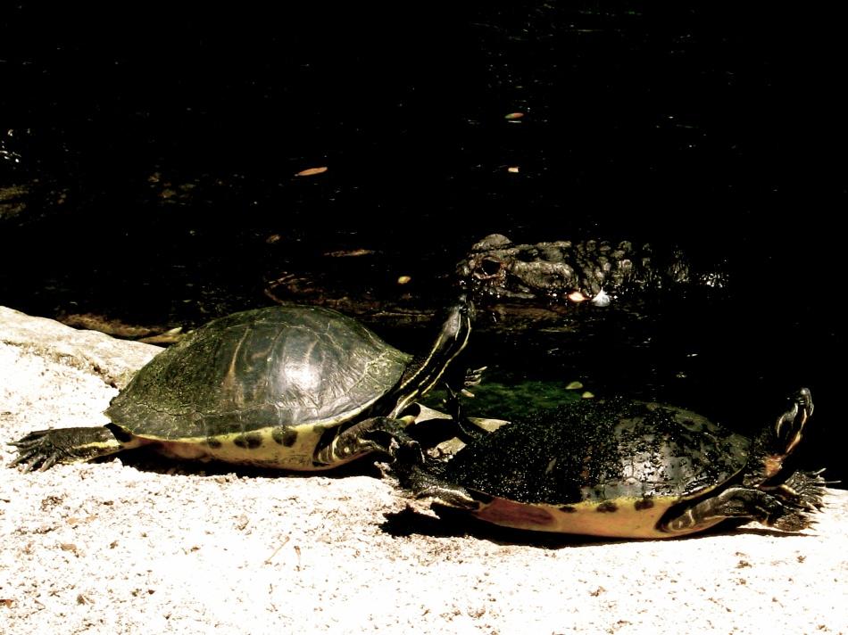 Turtles and Alligator at Busch Gardens