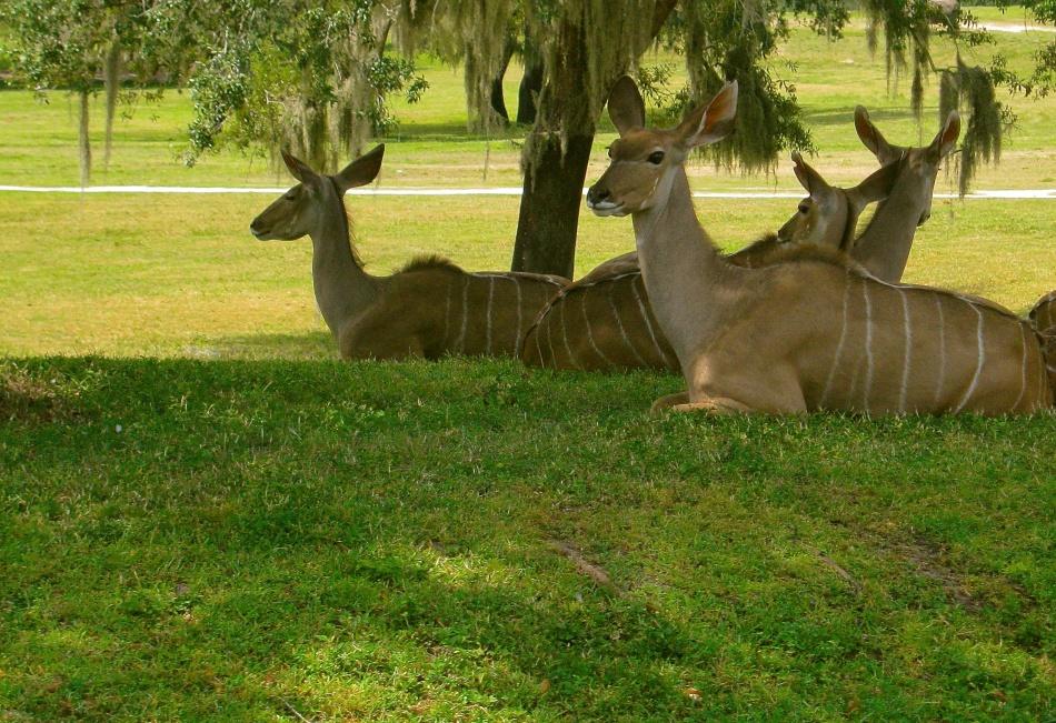 Gazelle at Busch Gardens