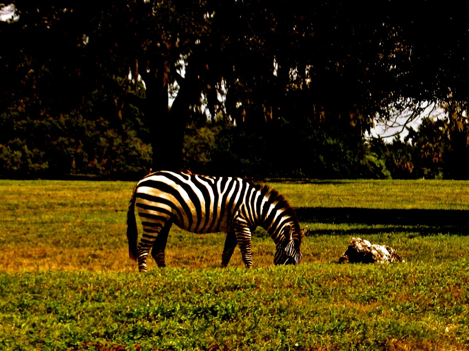 Zebra at Busch Gardens