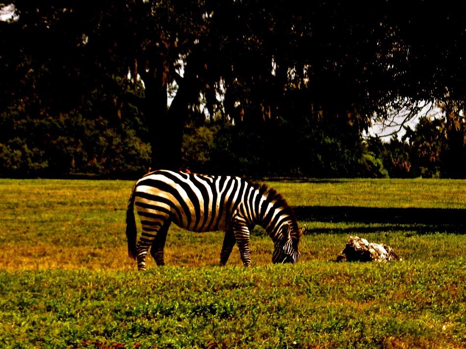 Zebra at Busch Gardens