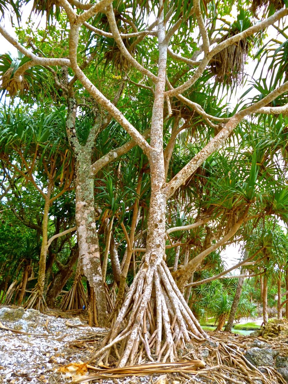 Vanuatuan Tree
