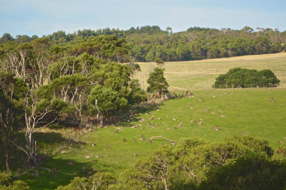 Mornington Peninsula National Park - Kangaroos