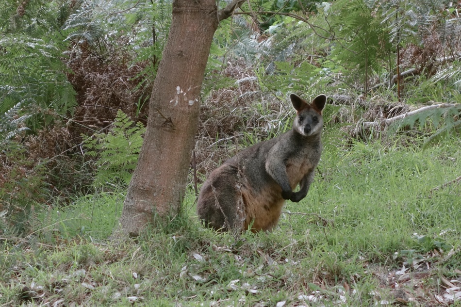 Mornington Peninsula National Park - Kangaroo