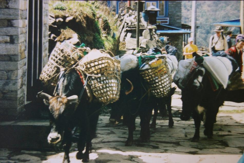 Sagarmatha National Park - Nepal - Yaks