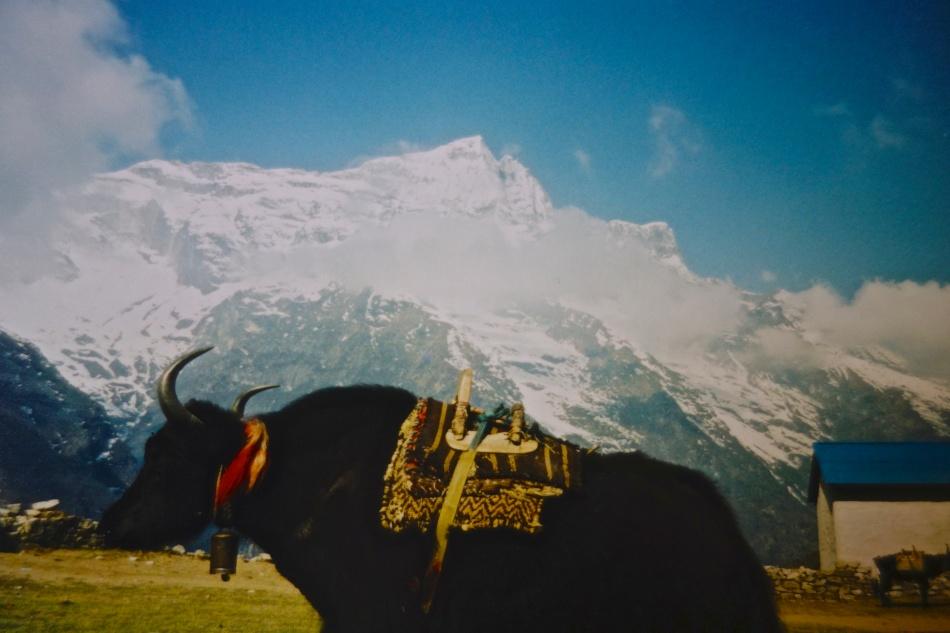 Sagarmatha National Park - Nepal - Yak