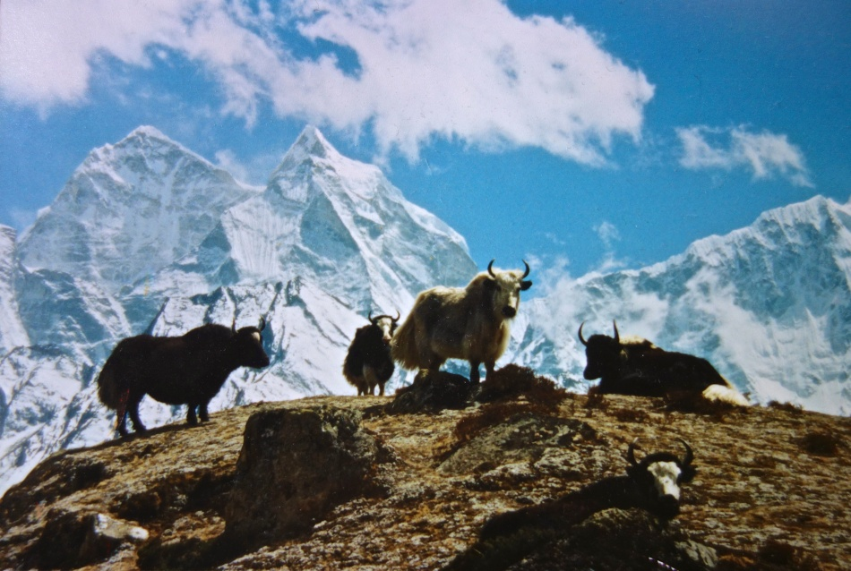 Sagarmatha National Park - Nepal - Yaks on a hill