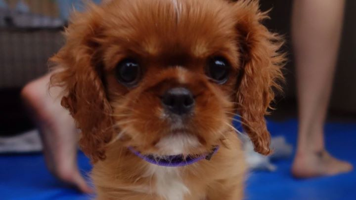 King Charles Cavalier - Ruby - Alice07