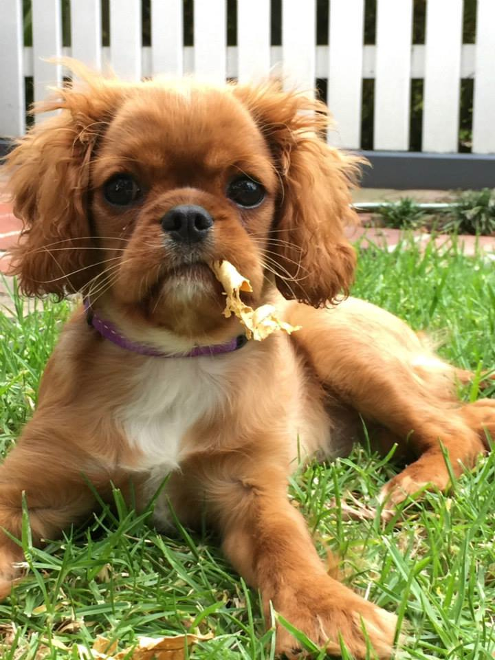 King Charles Cavalier - Ruby - Alice10