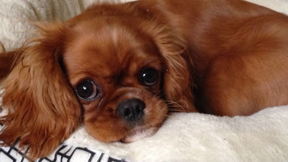 King Charles Cavalier - Ruby - Alice11