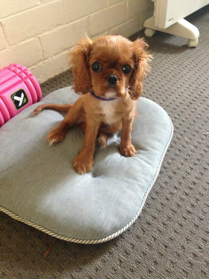 King Charles Cavalier - Ruby - Alice16