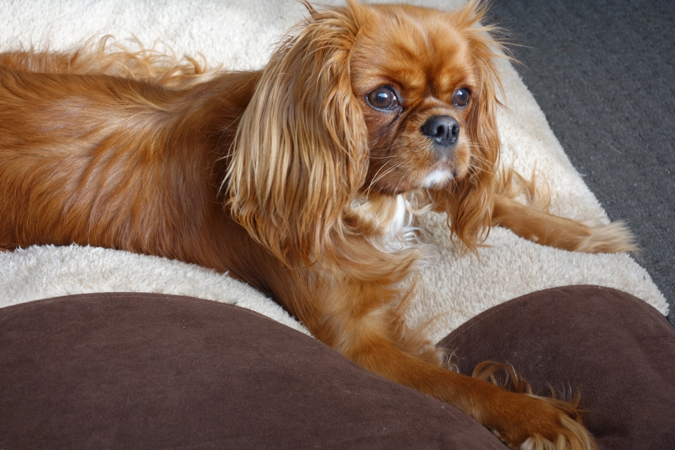 King Charles Cavalier - Ruby - Alice18