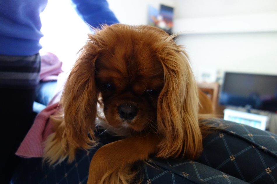 King Charles Cavalier - Ruby - Alice19
