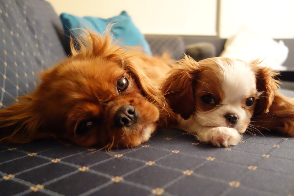 King Charles Cavaliers - Scout and Alice3