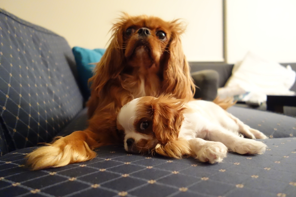 King Charles Cavaliers - Scout and Alice5