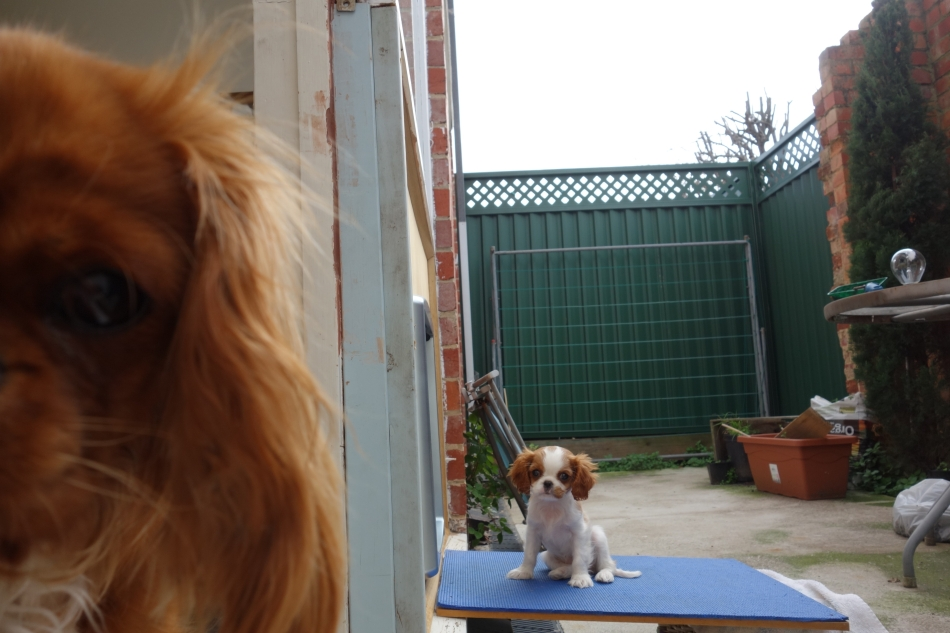 King Charles Cavaliers - Scout and Alice6